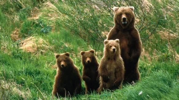 rjavi medved